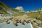 Flock of sheep in mountainous landscape, Campo Imperatore, Corno Grande, Abruzzo, Italy
