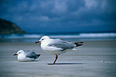 Seagull, Animals