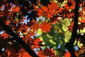 Autumn leaves at Soraksan mountains, Soraksan, South Korea, Asia