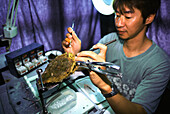 A man grafting an oyster in a pearl farm, Palawan Island, Philippines, Asia