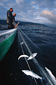 Fishermen having catch in Fishing net, Reichenau, Lake of Constance, Germany