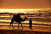 A man and a camel on the beach at sunset, Agadir, Morocco, Africa