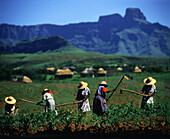 Women working on a field, village and Drakensberge in the background, Kwazulu Natal, South Africa, Africa