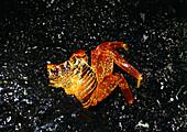 Crab under lava rocks, North Seymour Island, Galapagos Ecuador, South America