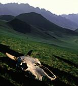Tierschädel vor Bergkulisse, Altai Berge, Mongolei, Asien