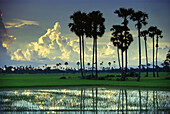 Palm trees and rice fields in the evening light, Prey Veng Province, Prey Veng, Cambodia, Asia