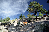 Cattle on rocks under clouded sky, Monk's valley, Creel, Chihuahua, Mexico, America