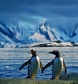 Gentoo penguins , Port Lockroy, Antarctic Peninsula, Antarctica