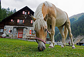 One horse grazing in front of mountain hut, Varusch, Val Trupchun, Swiss Nationalpark, Engadin, Graubuenden, Grisons, Switzerland, Alps