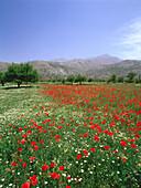 Blooming flower Meadow, Dikti Mountains, Lassithi Plateau, Crete, Greece