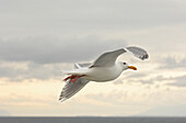 Flying Seagull, Vancouver Island, Canada