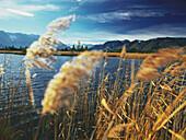 Schilf am Ufer, Staffelsee, Blaues Land, Oberbayern, Deutschland