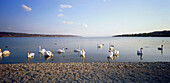 Swans on Lake, waterfront of Starnberger See, Upper Bavaria, Germany