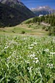 Alpine pasture with flowers, Guarda, Grisons, Switzerland