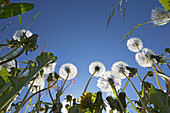 Dandelions, view into clear blue sky, Upper Bavaria, Germany