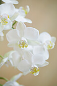 Blossoms of an Orchid Plant