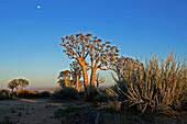 A couple of Quivertrees (Aloe dichotoma) and moon. Gondwana Canon Park, Fish river canyon. Southern Namibia. Africa.