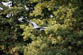 Flying Grey Heron,River Dahme, near Zernsdorf, Brandenburg, Germany