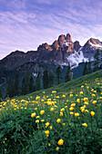 Field of globe flowers with alpenglow on the Bischofsmuetze, Hofalm, Gosaukamm, Dachstein mountain range, Salzburg, Austria