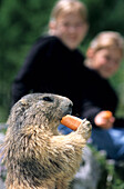 Marmot eating a carrot, two children in the background, Bachlalm, Dachstein mountain range, Salzburg, Austria