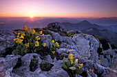 Auriculas in the first morning light with sunrise over lake Chiemsee and the Chiemgau alps, Bavarian alps, Upper Bavaria, Bavaria, Germany