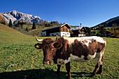Cow in front of a farm with mountain range in the background, Dienten, Hochkoenig area, Berchtesgaden range, Salzburg, Austria