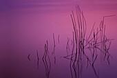 Reed in the water, zen-like, Schleswig-Holstein, Germany