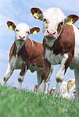 Kuherde, Deutschland, Mecklenburg Vorpommern, Lübecker Bucht, kuh, kühe, herde, braun weiss gefleckt, tierhaltung, junge kühe, viehzucht, blicken in die kamera, aufmerksam