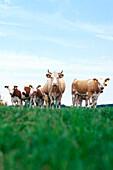 Kuherde, Deutschland, Mecklenburg Vorpommern, Lübecker Bucht, kuh, kühe, herde, braun weiss gefleckt, tierhaltung, junge kühe, viehzucht, blicken in die kamera, aufmerksam, formation