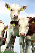 Kühe, kuh, kuherde, herde, braun weiss gefleckte kuh, tierhaltung, junge kühe, viehzucht, blicken in die kamera, aufmerksam, mecklenburg vorpommern, lübecker bucht, deutschland