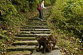 Pilgrim and monkeys on a pilgrimage route, Emei Shan, Sichuan province, China, Asia