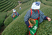 Women picking tea leaves, Uji, Kyoto district, Japan