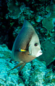 Gray Angelfish, Pomacanthus arcuatus, Mexico, Mexiko, Yucatan, Caribbean, Sea