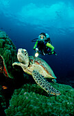 Green sea turtle and scuba diver, Chelonia mydas, Australia, Great Barrier Reef