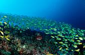 Saddleback coral trout, Fivelined snapper, Plectropomus laevis, Lutjanus quinquelineatus, Maldives Islands, Indian ocean, Ari Atol, Atoll
