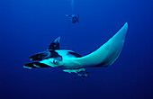 Manta ray and scuba diver, Manta birostris, Egypt, Red Sea, Brother Islands