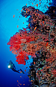 Scuba diver and reef with red soft corals, Egypt, Rocky Island, Red Sea