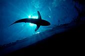 Silky shark shadow, Carcharhinus falciformis, Egypt, Red Sea, Brother Islands