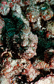 Flasher scorpionfish, Scorpaenopsis macrochir, Maldives Islands, Indian ocean