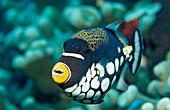 Clown triggerfish, Balistoides conspicillum, Indonesia, Wakatobi Dive Resort, Sulawesi, Indian Ocean, Bandasea