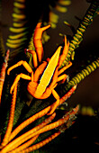 squat lobster on a featherstar, Allogalathea elegans, Indonesia, Raja Ampat, Irian Jaya, West Papua, Indian Ocean
