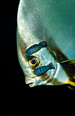 Isopods on Pinnate batfish, Platax pinnatus, Nerocila , Indonesia, Wakatobi Dive Resort, Sulawesi, Indian Ocean, Bandasea