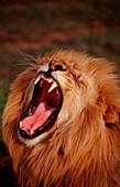 Snarling lion, Panthera leo, South Africa, Kruger National Park