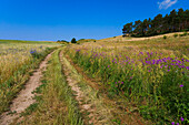 Footpath through a field, Alt Reddevitz, Rugen Island, Mecklenburg Western Pomerania, Germany
