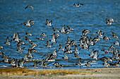 Austernfischer fliegen ab, Haematopus ostralegus, Ostfriesische Inseln, Nordsee, Deutschland