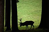 Deer, Wildpark Daun, Eifel, Rhineland-Palatinate, Germany