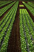 Salad crops, fields in garlic country, Nuremberg, Franconia, Bavaria, Germany