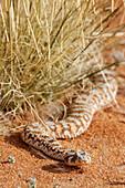 Horned adder a poisonous snake Klein-Aus-Vista. Gondwana Sperrgebiet Rand Park. Succulent Karoo Desert. Souther Namibia. Africa.