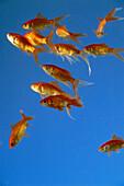 A shoal of goldfish, Underwater, Animal