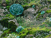 Rock with moss and Aeonium, endemic plant with rosette leaves, near Valsequillo, Gran Canaria, Spain